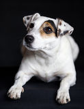 Jack Russel Terrier. In studio Royalty Free Stock Photos