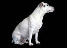 Jack Russel Terrier. In studio Royalty Free Stock Photos
