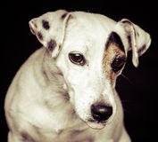 Jack Russel Terrier Royalty Free Stock Photography