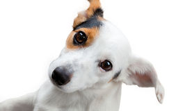 Jack russel terrier studio shot Royalty Free Stock Photography