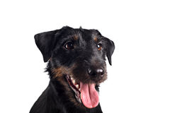 Jack russel terrier studio shot Royalty Free Stock Photos