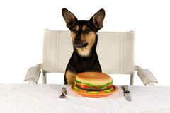 Jack Russel Terrier at Table Royalty Free Stock Photo