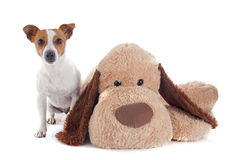Jack russel terrier and toy Royalty Free Stock Images