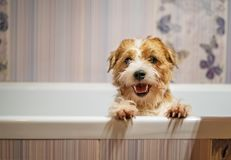 JACK RUSSELL TERRIER WAITING BATH stock photos