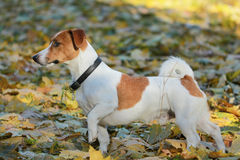 Jack Russel terrier walking in the park Royalty Free Stock Image