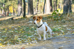 Jack Russel terrier walking in the park Stock Photo