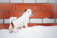 Jack russel terrier in winter Royalty Free Stock Image
