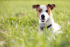 Jack russel terrier. Young jack russel terrier in green meadow royalty free stock photos