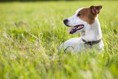 Jack russel terrier Stock Photo