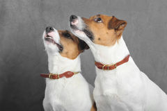 Jack Russel terriers Royalty Free Stock Photos