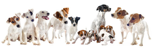 Jack russel terriers Stock Images
