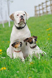 Jack russel terriers and American bulldog Royalty Free Stock Photo