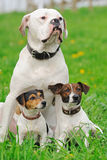 Jack russel terriers and American bulldog Stock Photo