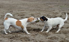 Jack Russel terriers Stock Photo