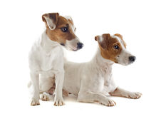 Jack russel terriers royalty free stock photography