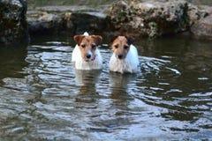 Jack Russel Terriers se tenant dans un étang Photo libre de droits