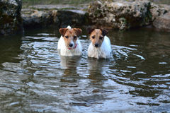 Jack Russel Terriers standing in a pond Royalty Free Stock Photo