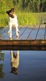 Jack Russel veulent nager Photo libre de droits
