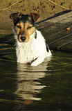 Jack Russel water portrait. In summer time Stock Photos