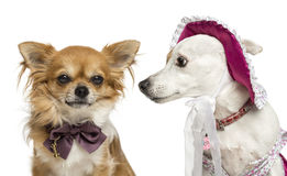 Jack russel wearing a hat and chihuahua Royalty Free Stock Photo