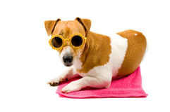 Jack russel is wearing sunglasses. Jack russel laying on a pink towel is wearing sunglasses isolated on white stock image