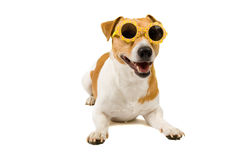 Jack russel is wearing sunglasses. Isolated on white stock image