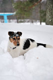 Jack Russel in winter Stock Image