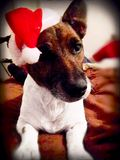 Jack Russell στο καπέλο Santa! Χαρούμενα Χριστούγεννα Στοκ Εικόνες