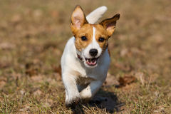 Jack Russell Stock Photography