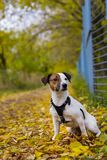 jack russell стоковое фото