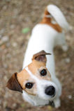 Jack Russell. A Jack Russell terrier looking at the camera Royalty Free Stock Images