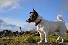 Jack Russell. Our dog Tilly on beach walk Royalty Free Stock Photography