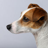 Jack russell (2 years) stock image
