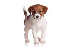 Jack Russell Royalty Free Stock Photos