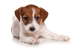 Jack Russell Royalty Free Stock Images