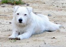 Jack russell Royalty Free Stock Image