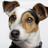 Jack russell (3 years) Stock Images