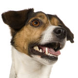 Jack russell (4 years) Royalty Free Stock Image