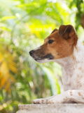 Jack russell Fotos de Stock Royalty Free