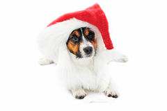 Jack Russell Accessories Stock Image