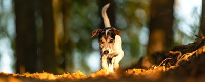 Jack Russell in action in the forrest in front of blue sky royalty free stock images