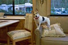 Jack Russell auf Couch lizenzfreie stockbilder