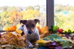 Jack Russell in autumn foliage royalty free stock photography