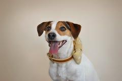 Jack Russell avec l'arc pointillé élégant photo libre de droits