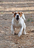 Jack Russell barks. Nice, unusual angle of Jack Russell Terrier at play, barking at the camera Stock Photo