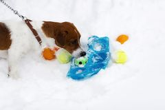 Jack Russell bawić się piłkę w zimie, mądry pies zdjęcie stock