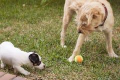 Jack Russell bawić się z innym psem Zdjęcia Royalty Free