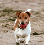 Jack Russell bawić się z piłką przy plażą, Norfolk UK zdjęcia royalty free