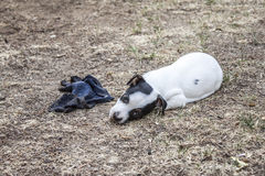 Jack Russell bitting the grass Royalty Free Stock Photo
