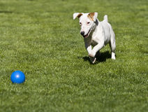 Jack Russell Blue Ball royalty free stock photo
